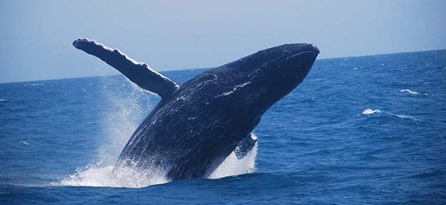 La Torre Resort apoia Passeio de Observação de Baleias Jubarte