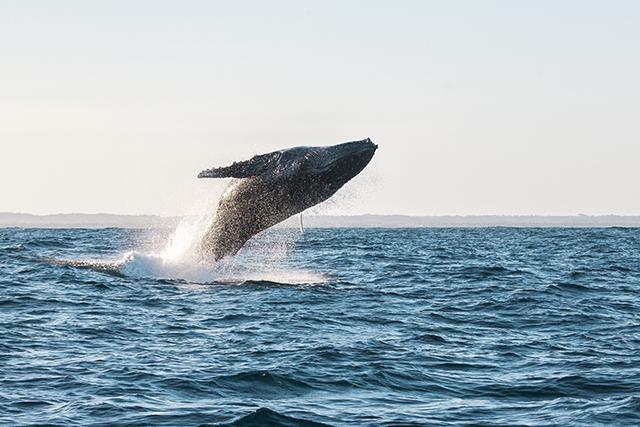 Tivoli Ecoresort Praia do Forte (BA) promove observação de baleias jubarte